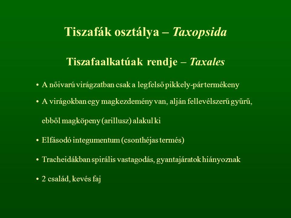 Tiszafák osztálya – Taxopsida Tiszafaalkatúak rendje – Taxales