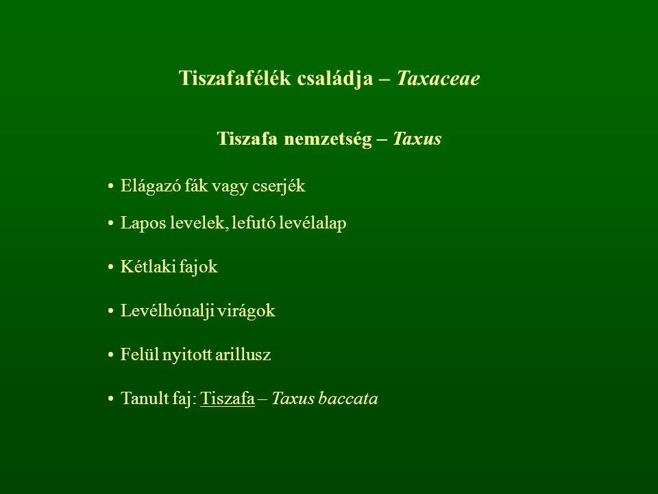 Tiszafafélék családja – Taxaceae Tiszafa nemzetség – Taxus