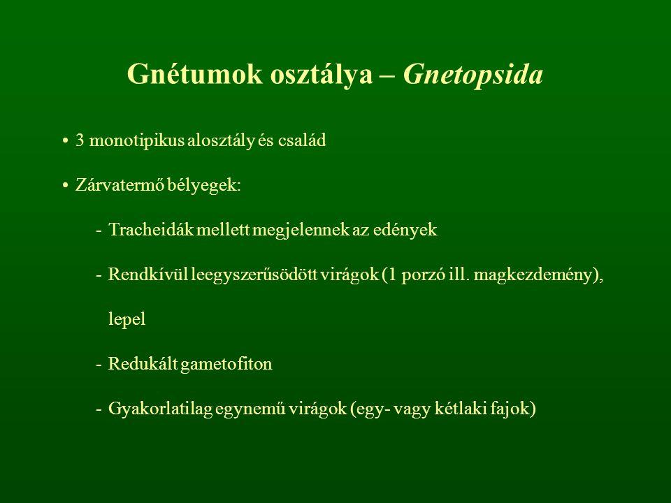 Gnétumok osztálya – Gnetopsida
