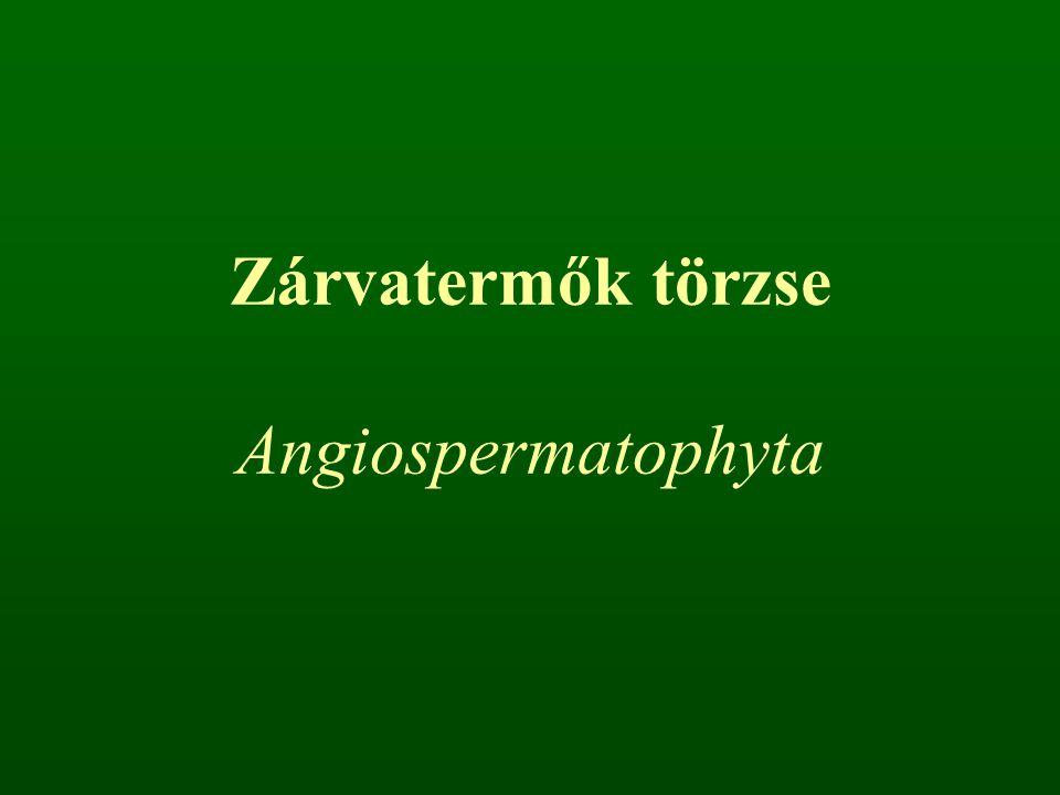 Zárvatermők törzse Angiospermatophyta