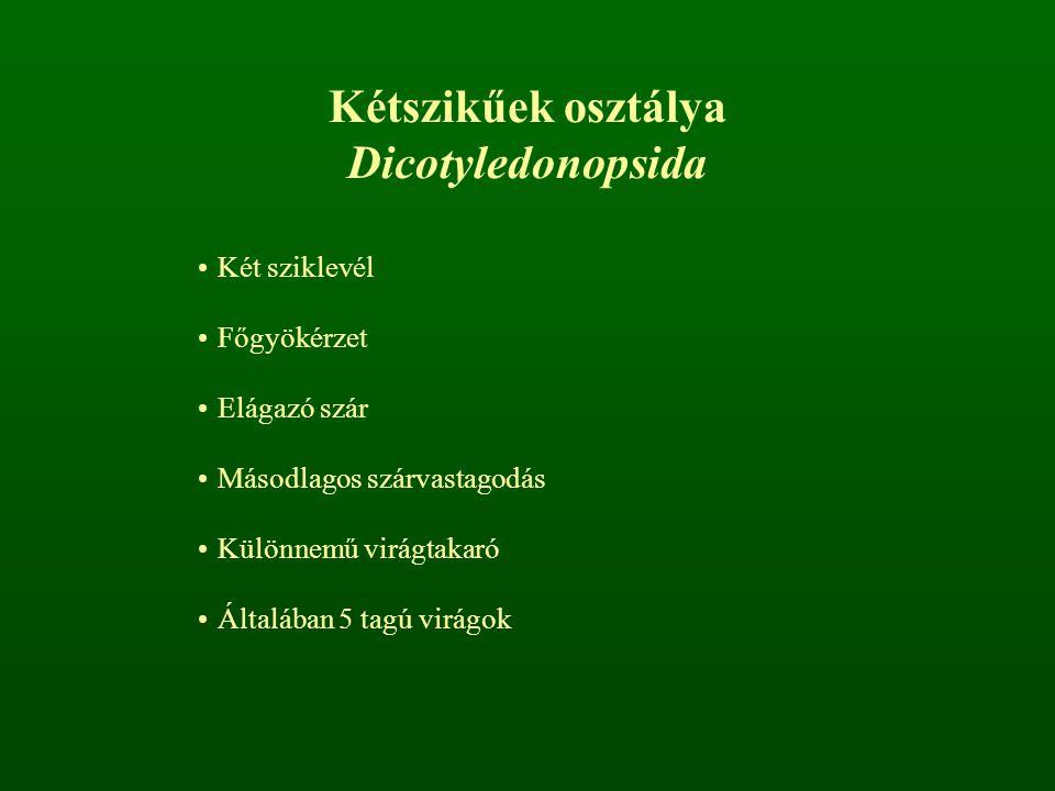 Kétszikűek osztálya Dicotyledonopsida