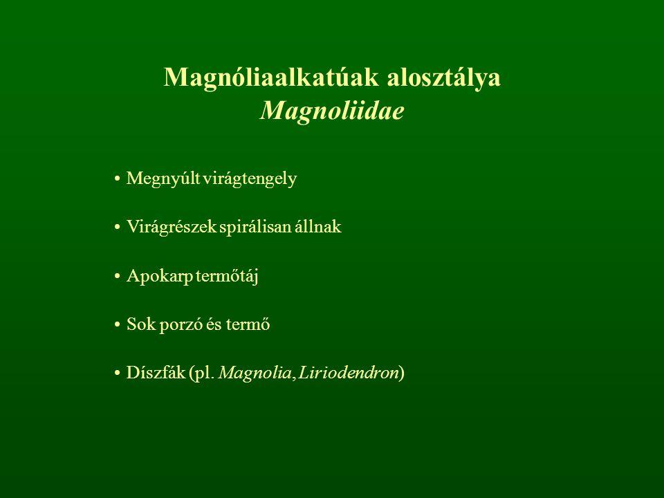 Magnóliaalkatúak alosztálya