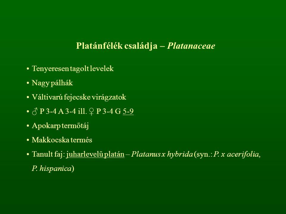 Platánfélék családja – Platanaceae