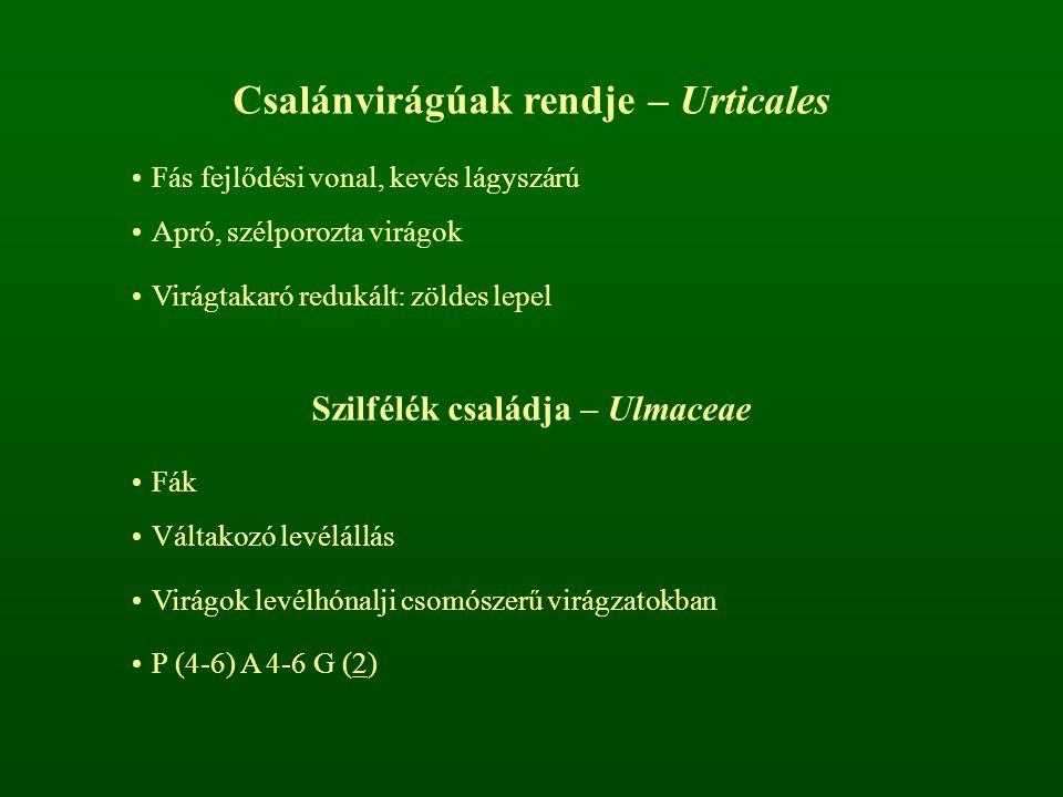 Csalánvirágúak rendje – Urticales Szilfélék családja – Ulmaceae