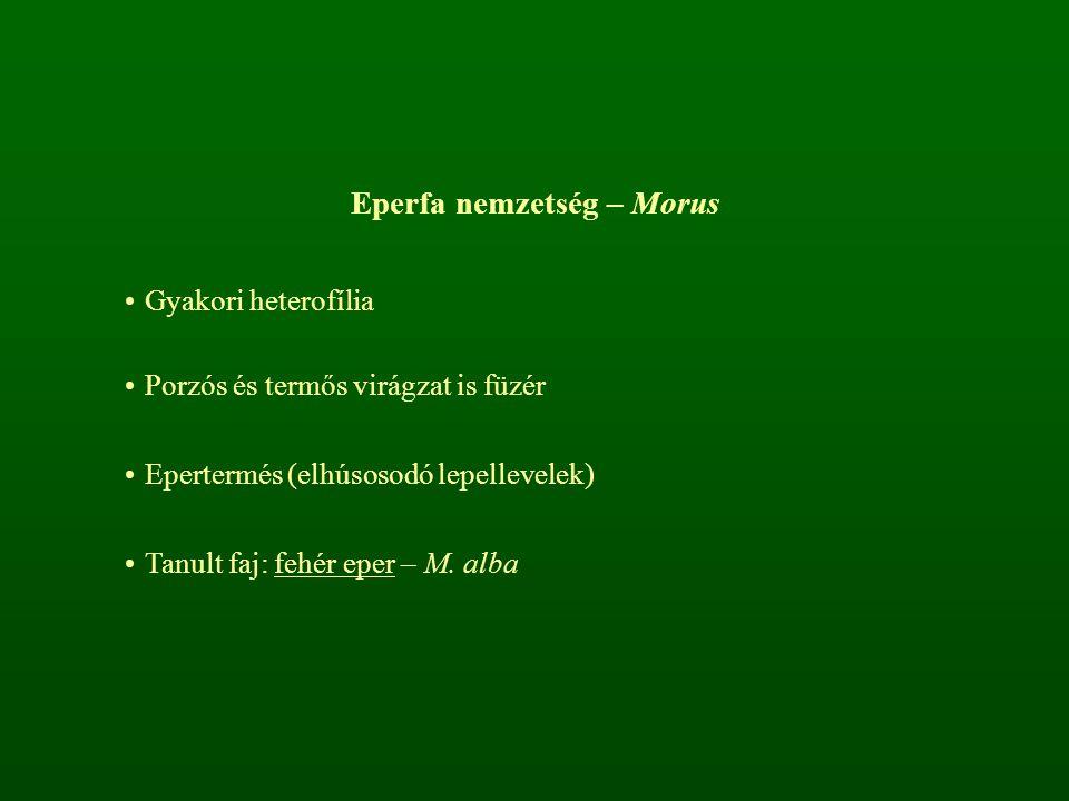 Eperfa nemzetség – Morus