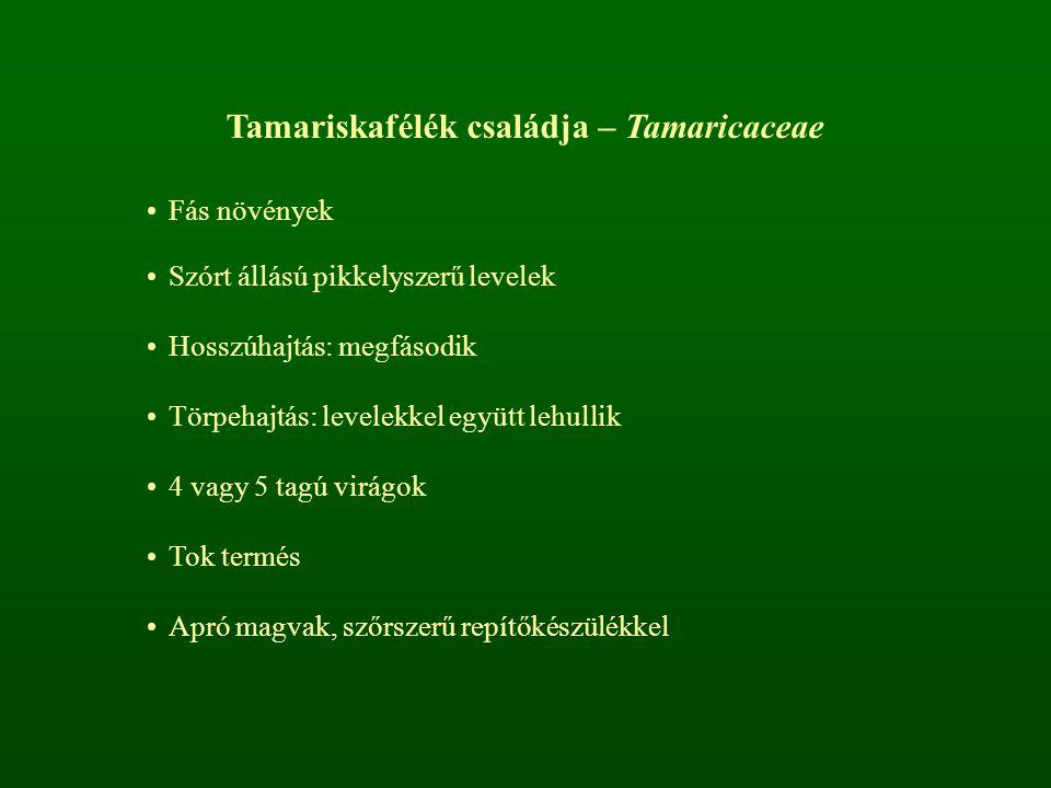 Tamariskafélék családja – Tamaricaceae