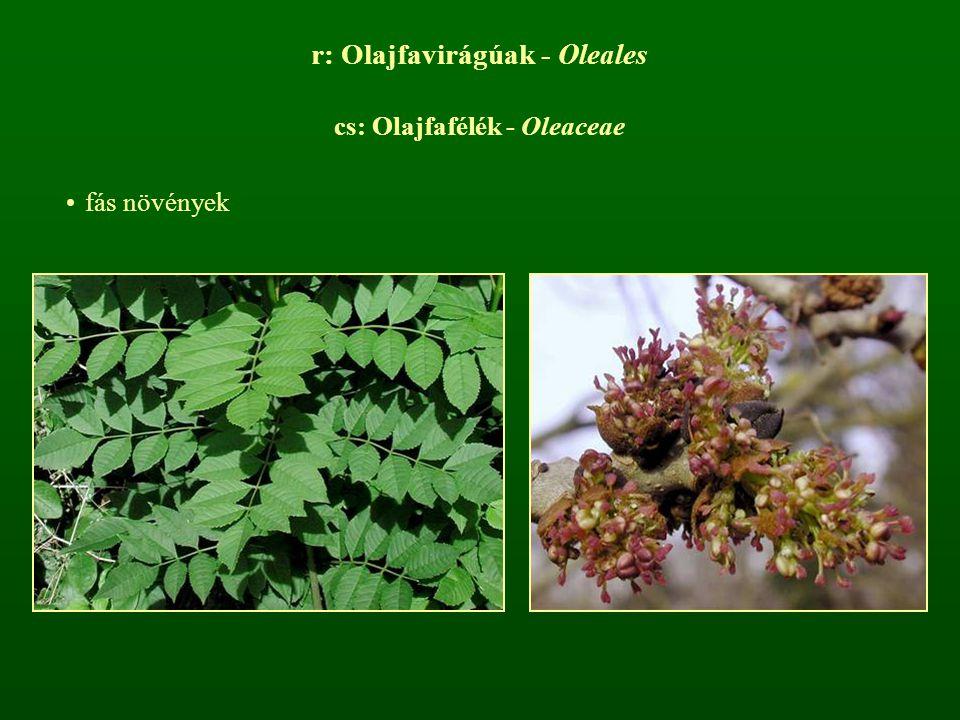 r: Olajfavirágúak - Oleales
