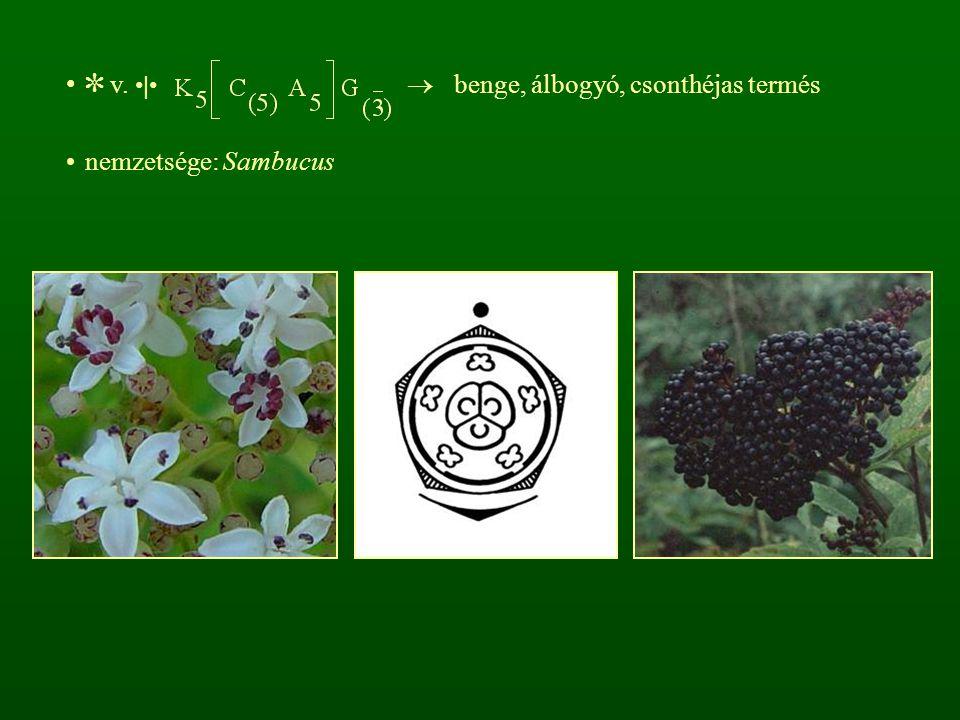 ✼ v. •|•  benge, álbogyó, csonthéjas termés