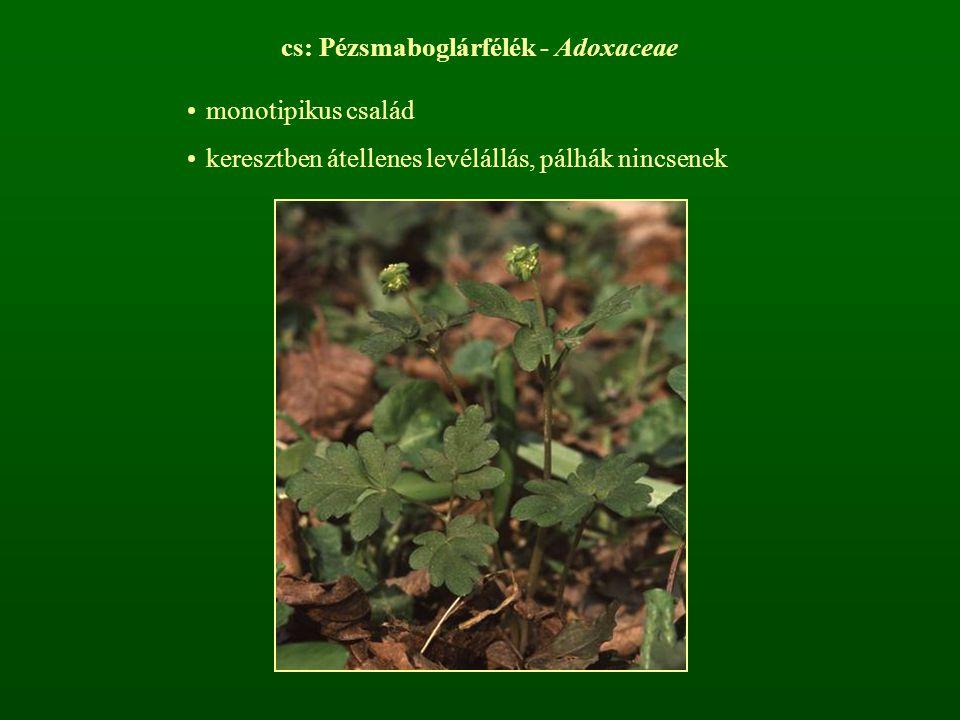 cs: Pézsmaboglárfélék - Adoxaceae