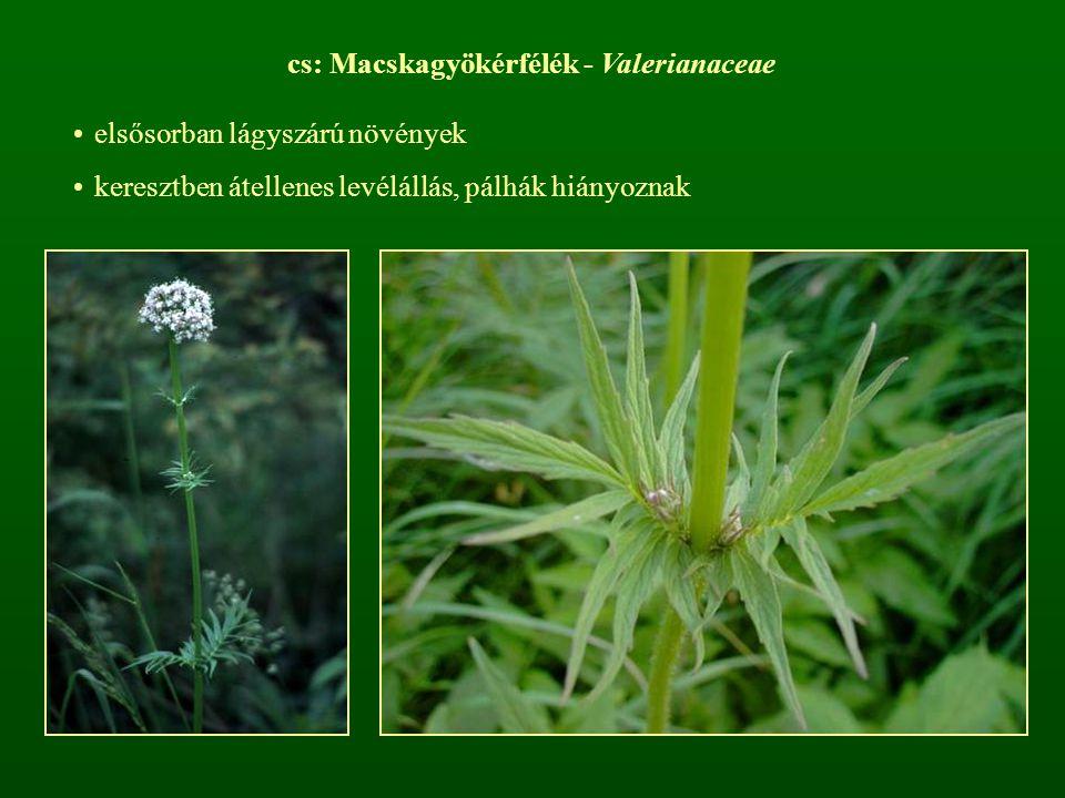 cs: Macskagyökérfélék - Valerianaceae