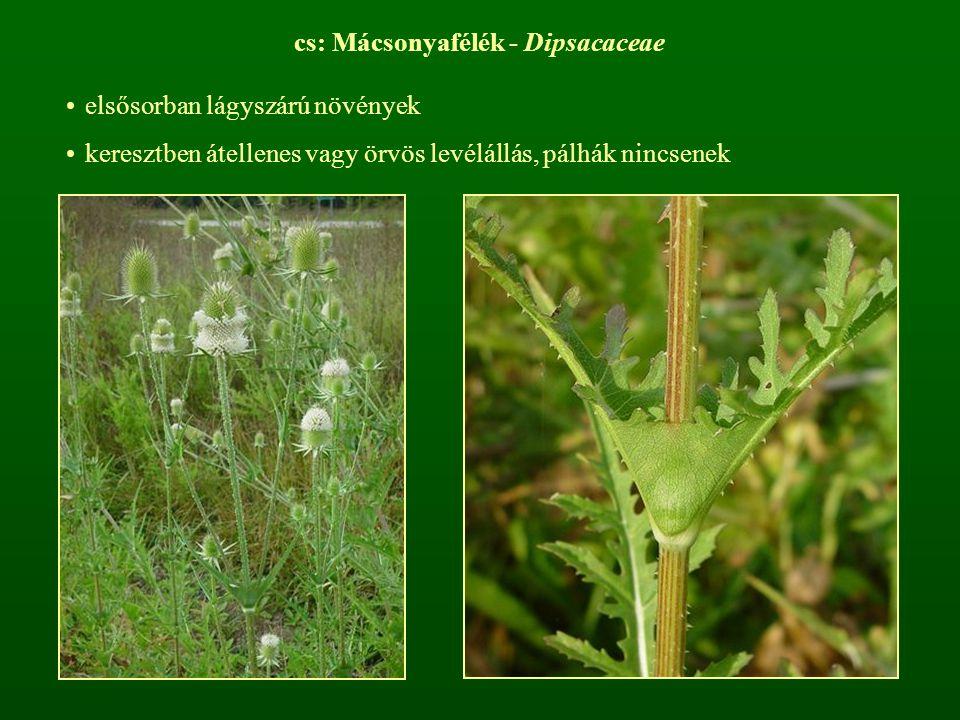 cs: Mácsonyafélék - Dipsacaceae