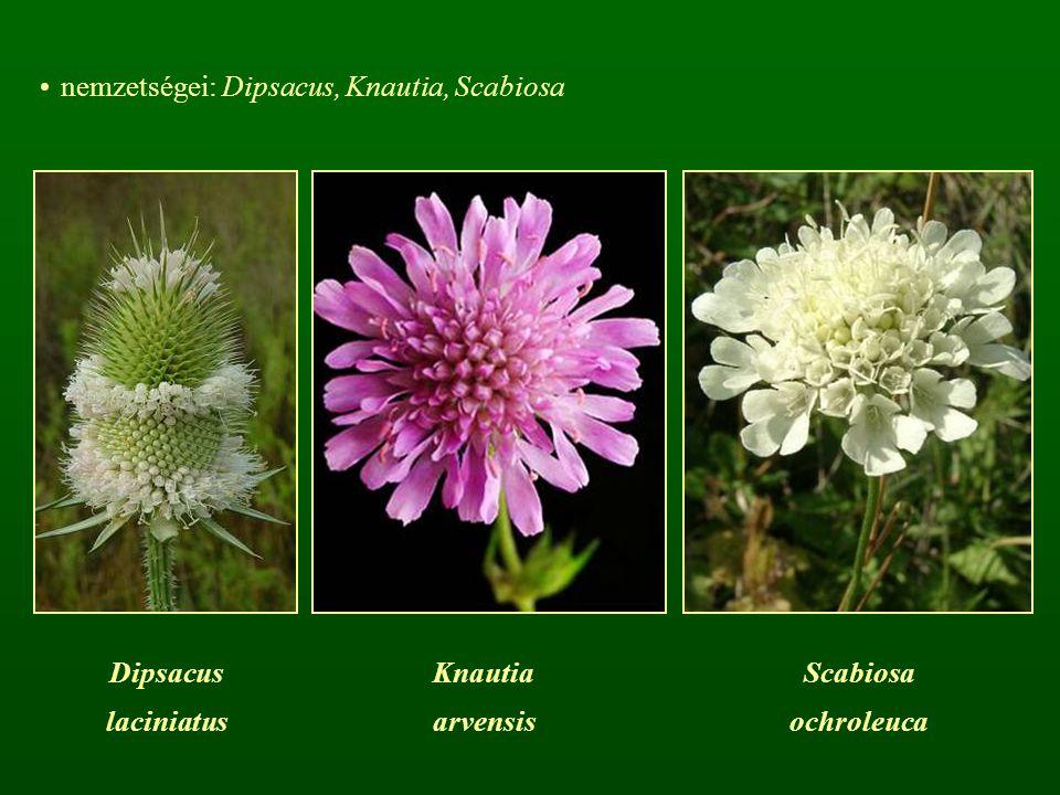 nemzetségei: Dipsacus, Knautia, Scabiosa