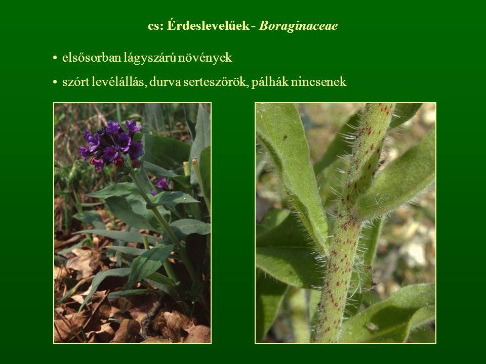 cs: Érdeslevelűek - Boraginaceae