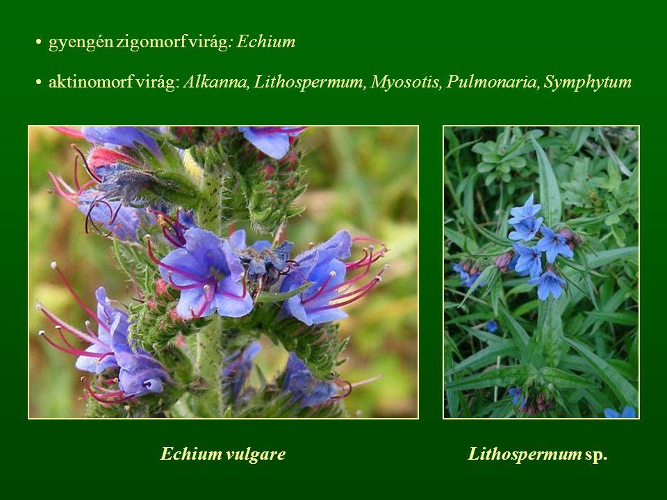 gyengén zigomorf virág: Echium