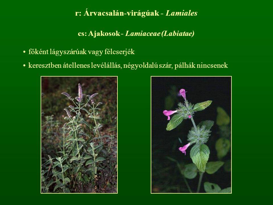 r: Árvacsalán-virágúak - Lamiales