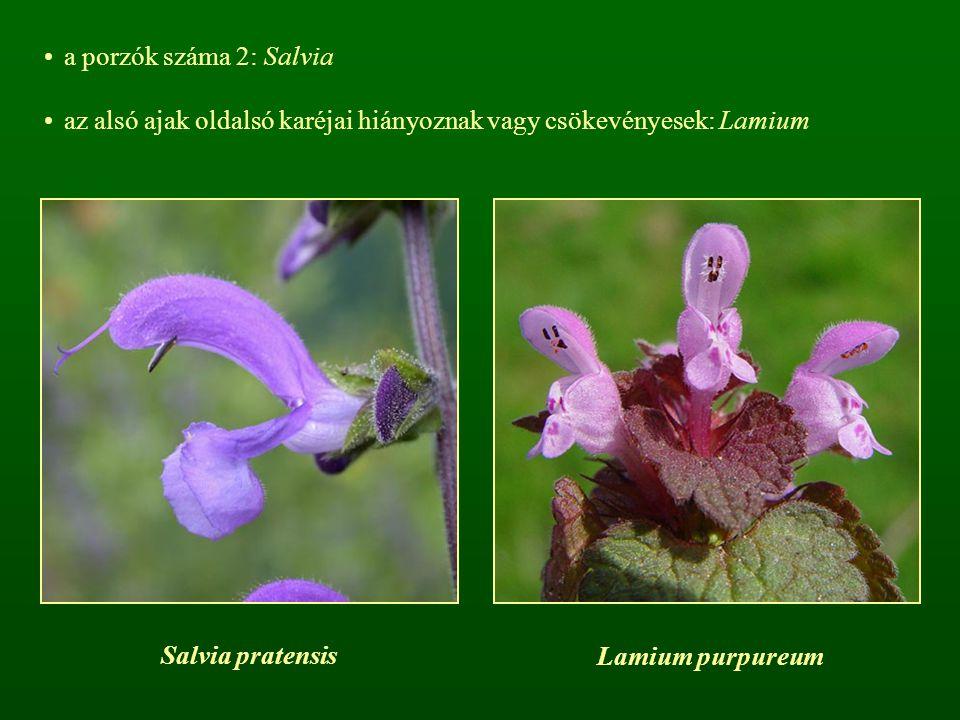 a porzók száma 2: Salvia az alsó ajak oldalsó karéjai hiányoznak vagy csökevényesek: Lamium. Salvia pratensis.