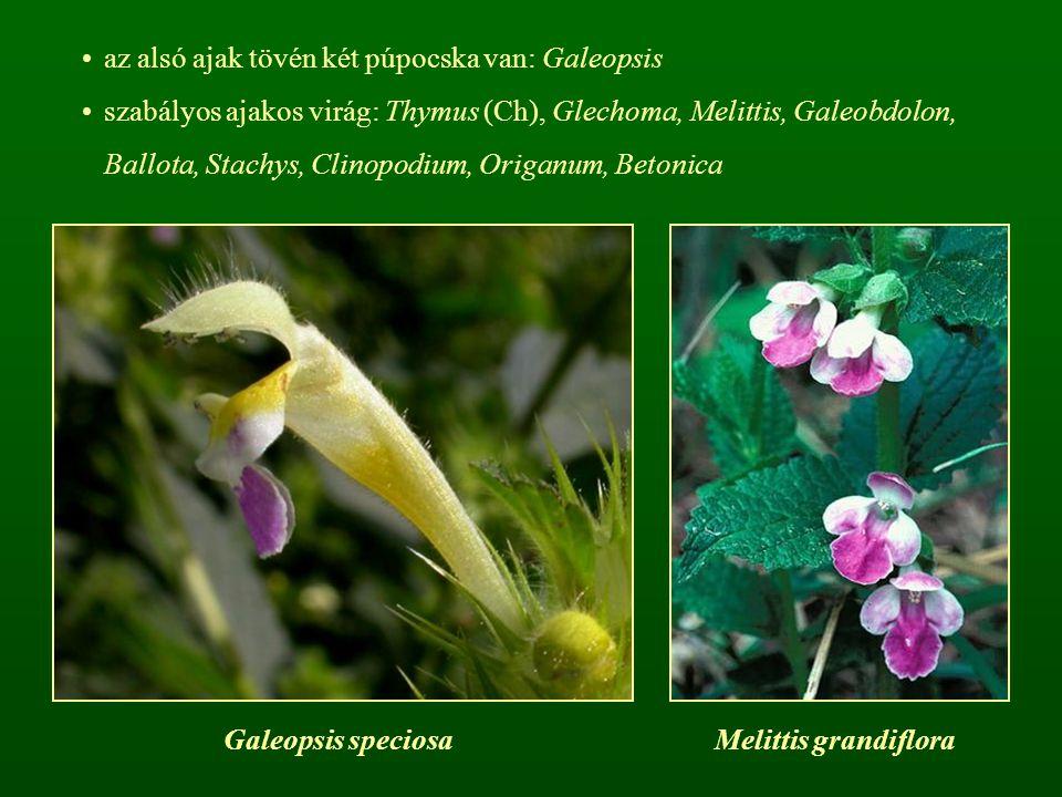 az alsó ajak tövén két púpocska van: Galeopsis