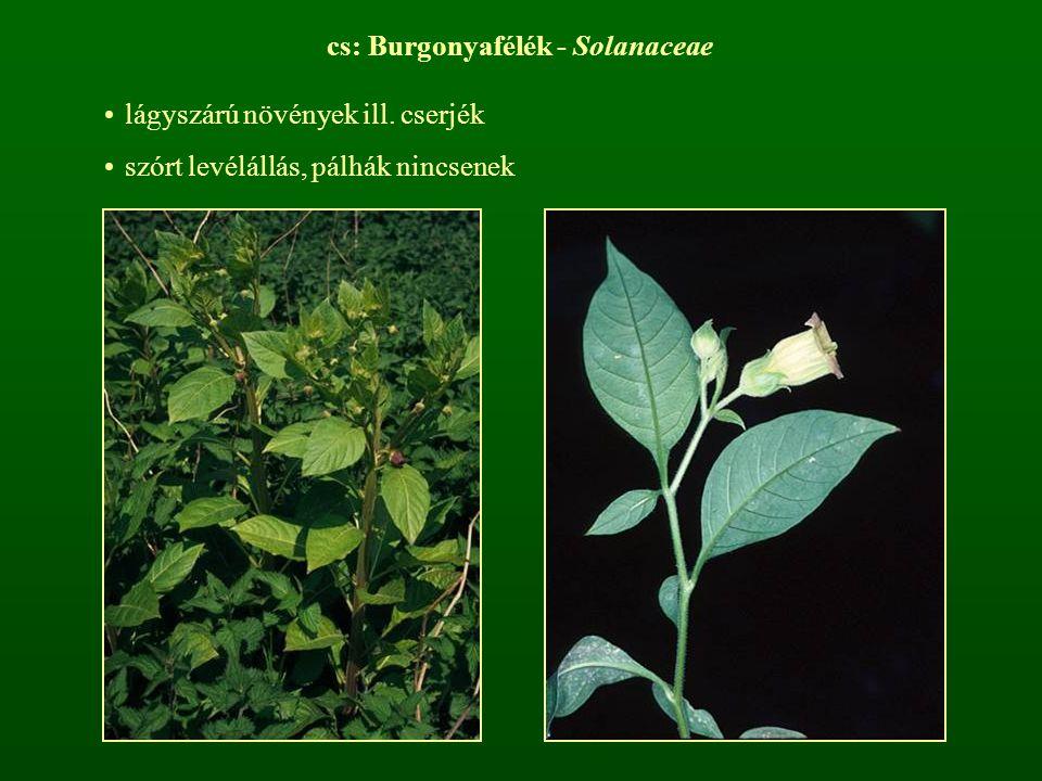 cs: Burgonyafélék - Solanaceae