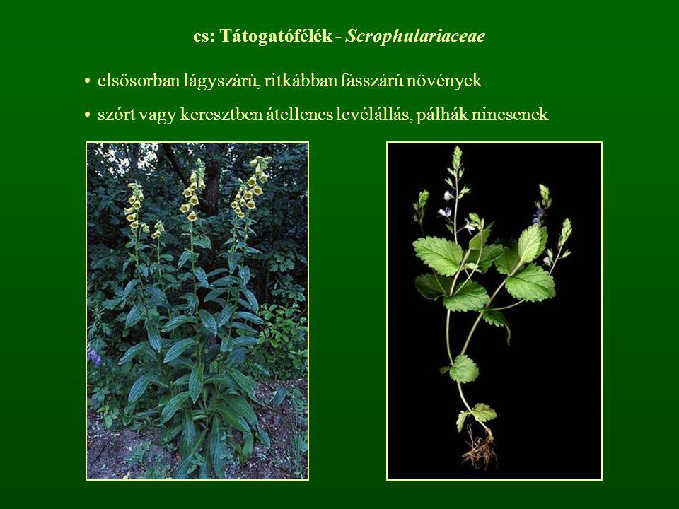 cs: Tátogatófélék - Scrophulariaceae