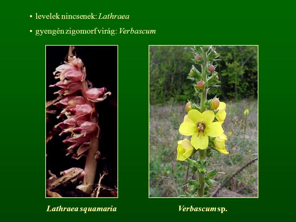 levelek nincsenek: Lathraea