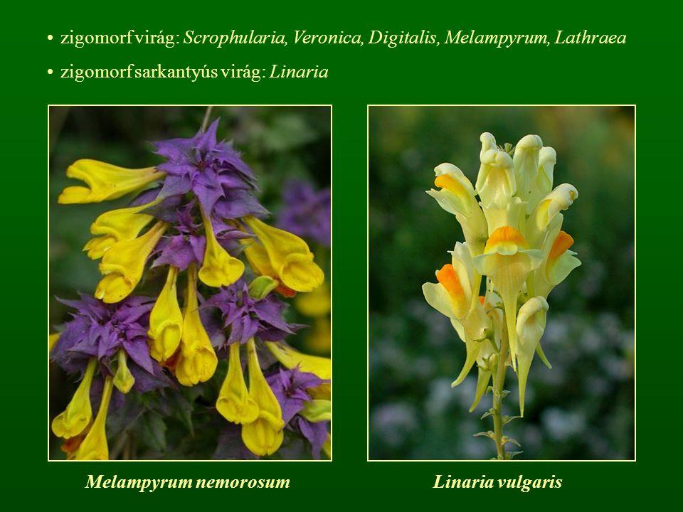 zigomorf virág: Scrophularia, Veronica, Digitalis, Melampyrum, Lathraea