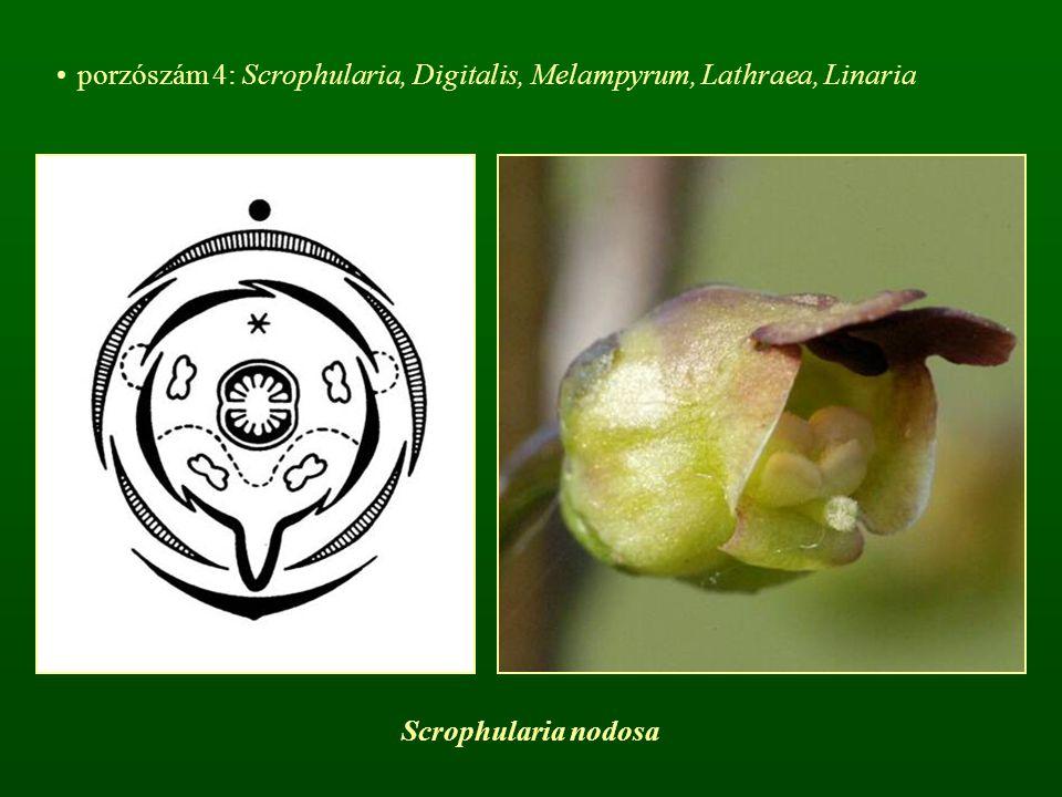 porzószám 4: Scrophularia, Digitalis, Melampyrum, Lathraea, Linaria