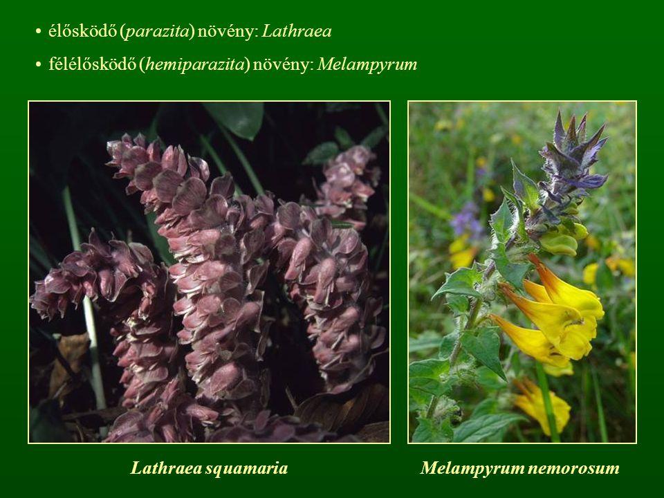 élősködő (parazita) növény: Lathraea