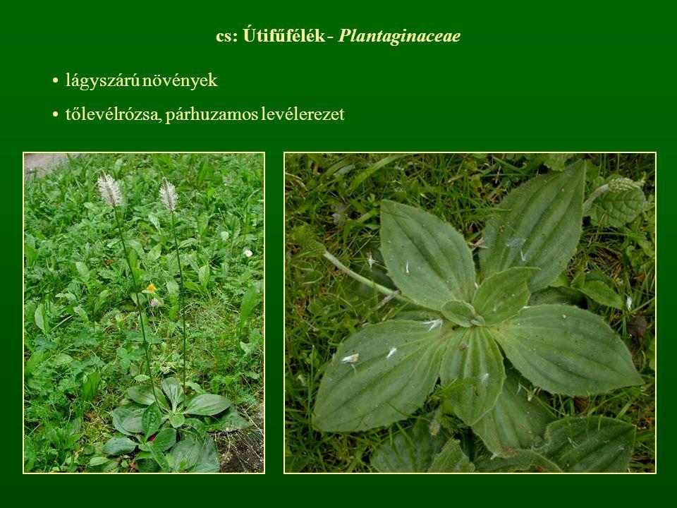 cs: Útifűfélék - Plantaginaceae