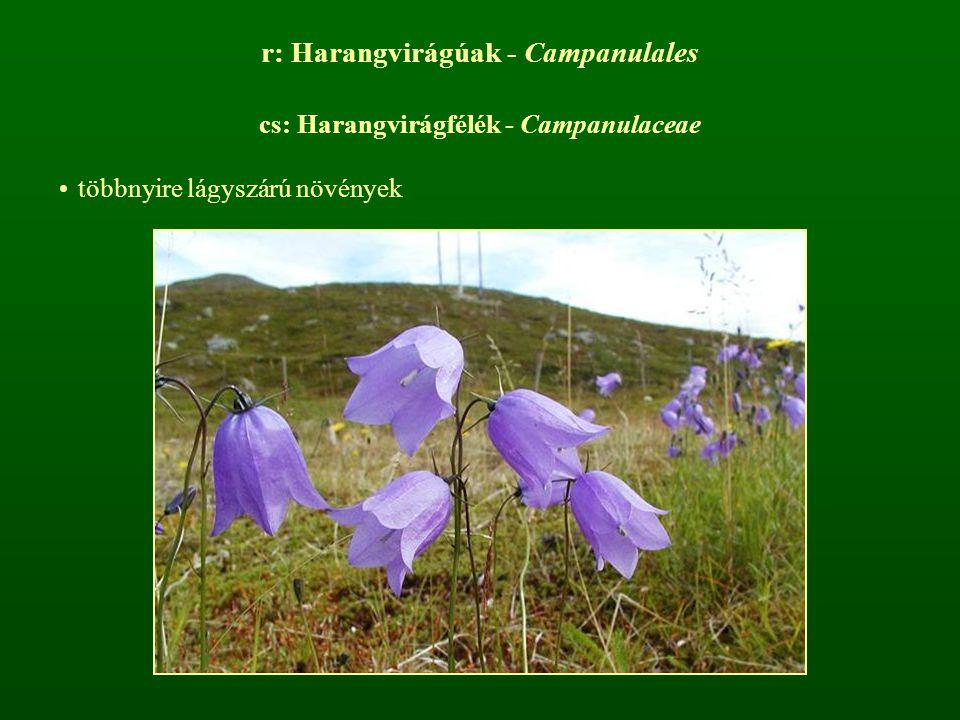 r: Harangvirágúak - Campanulales