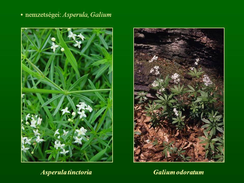 nemzetségei: Asperula, Galium