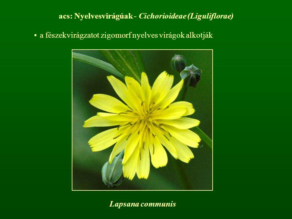 acs: Nyelvesvirágúak - Cichorioideae (Liguliflorae)