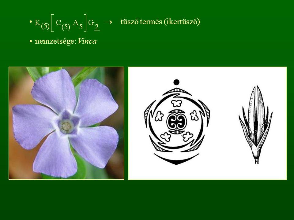  tüsző termés (ikertüsző)