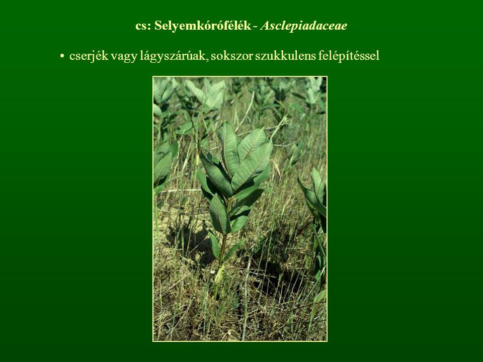 cs: Selyemkórófélék - Asclepiadaceae