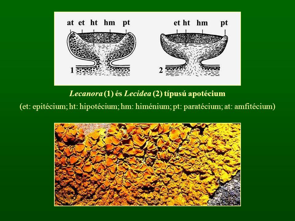 Lecanora (1) és Lecidea (2) típusú apotécium
