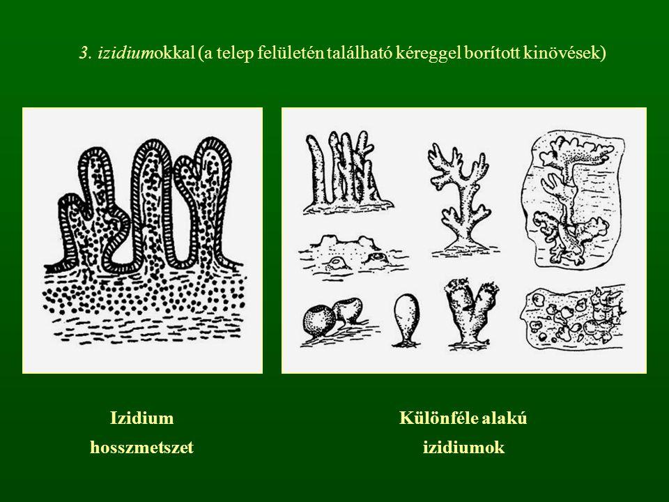 3. izidiumokkal (a telep felületén található kéreggel borított kinövések)