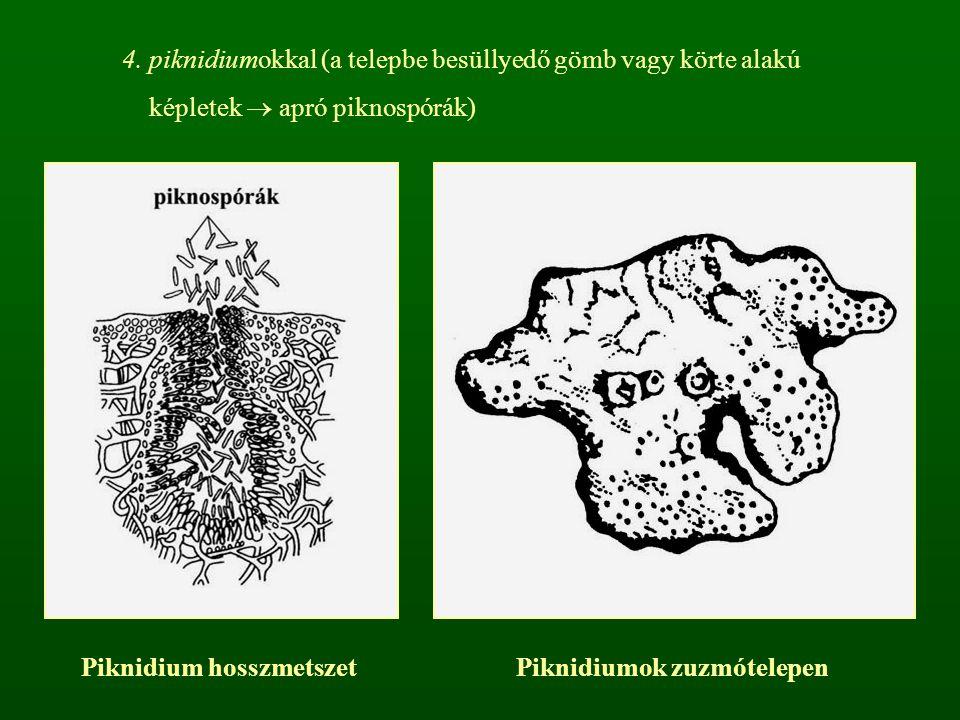 Piknidium hosszmetszet Piknidiumok zuzmótelepen