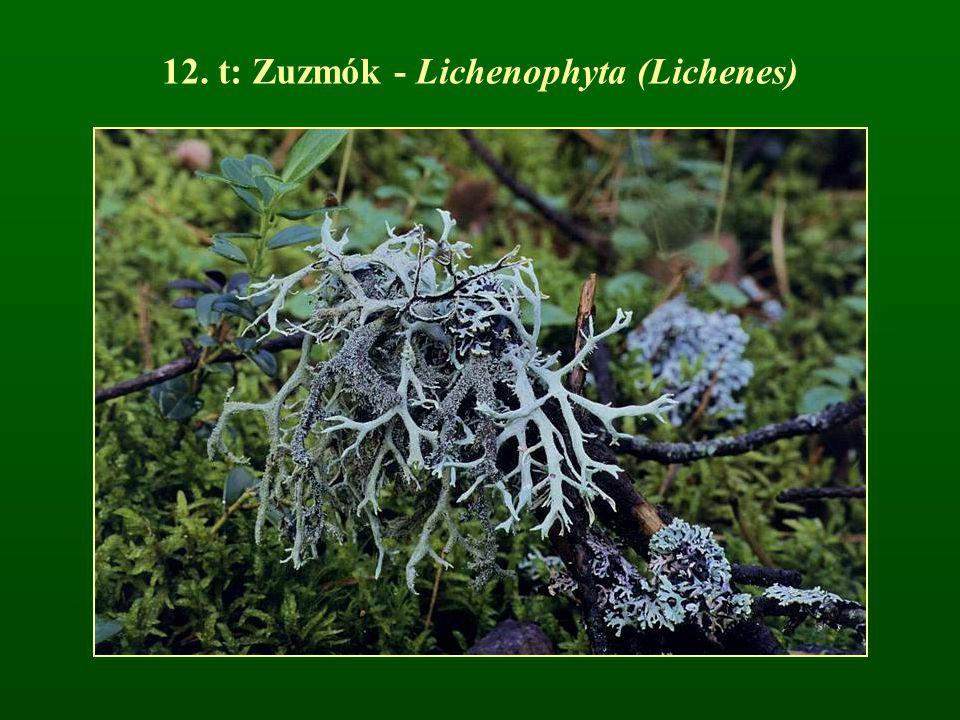 12. t: Zuzmók - Lichenophyta (Lichenes)