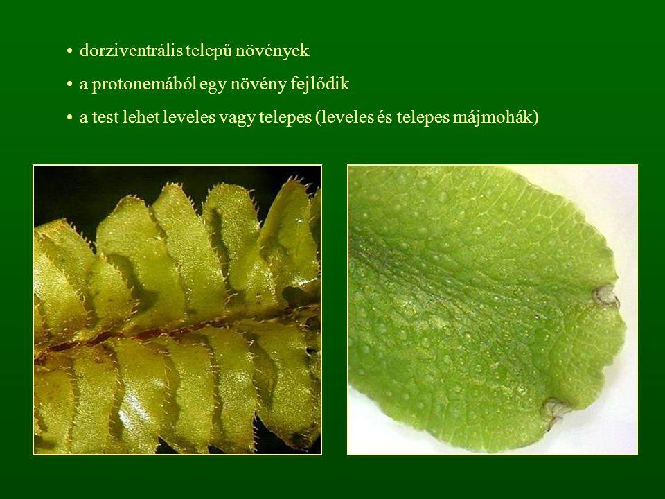 dorziventrális telepű növények