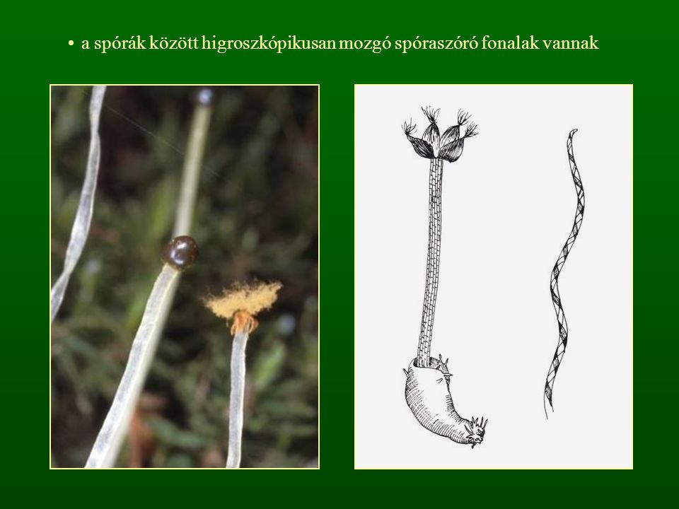 a spórák között higroszkópikusan mozgó spóraszóró fonalak vannak