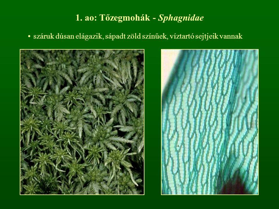 1. ao: Tőzegmohák - Sphagnidae