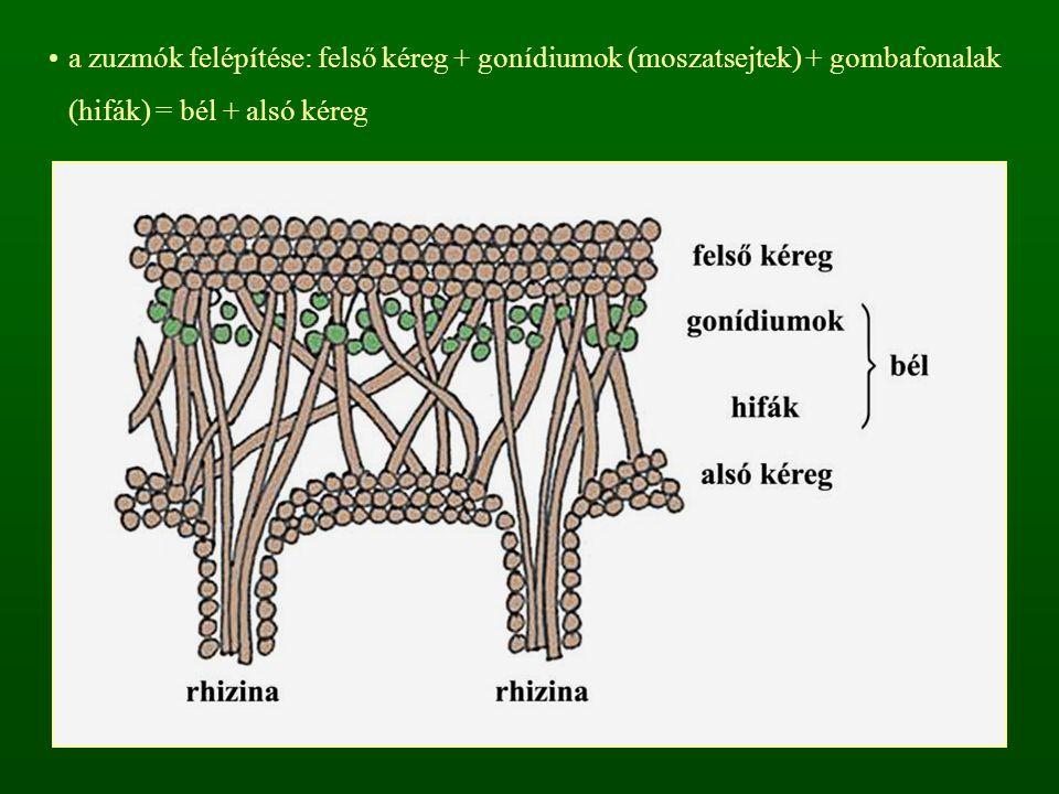 a zuzmók felépítése: felső kéreg + gonídiumok (moszatsejtek) + gombafonalak (hifák) = bél + alsó kéreg