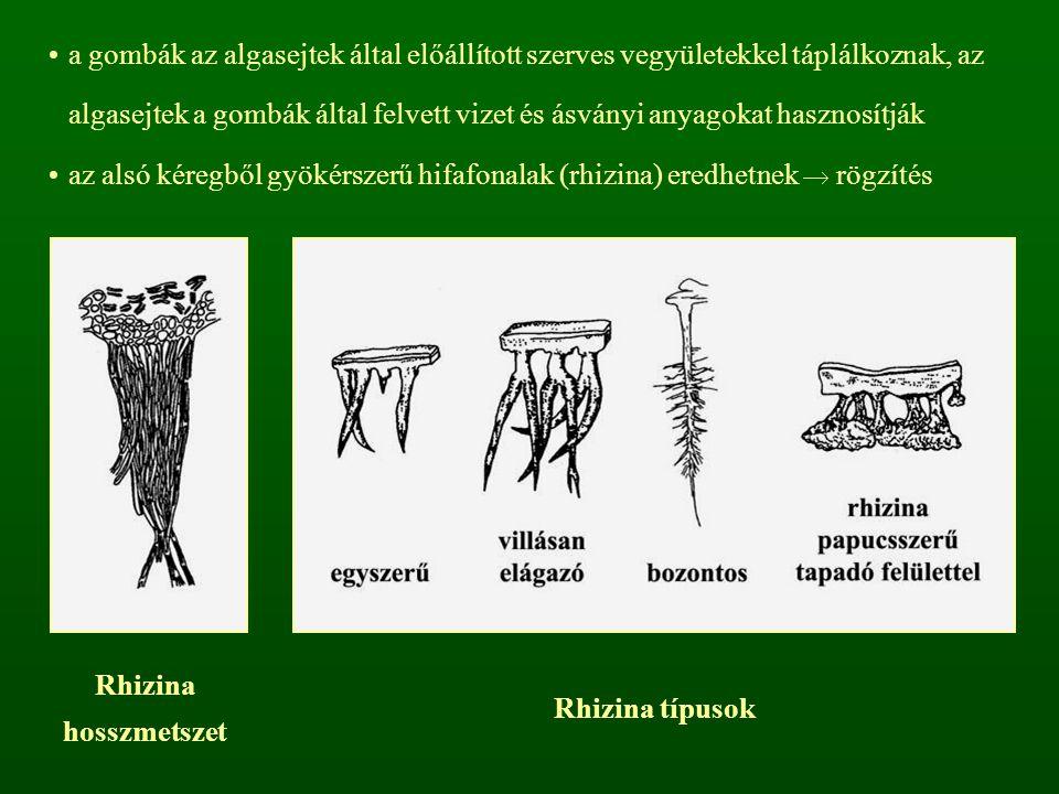 a gombák az algasejtek által előállított szerves vegyületekkel táplálkoznak, az algasejtek a gombák által felvett vizet és ásványi anyagokat hasznosítják