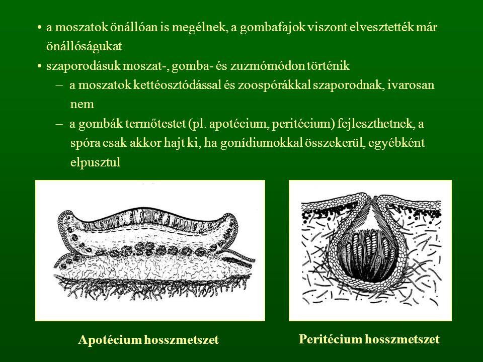 Apotécium hosszmetszet Peritécium hosszmetszet
