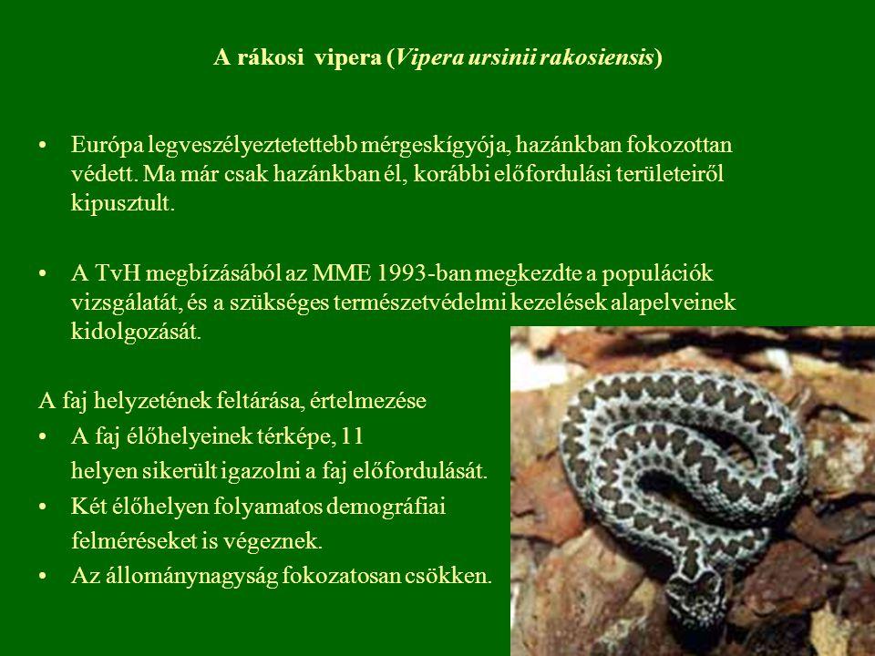 A rákosi vipera (Vipera ursinii rakosiensis)