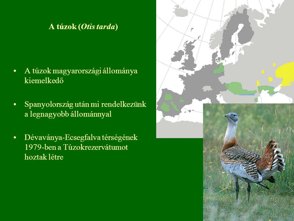 A túzok (Otis tarda) A túzok magyarországi állománya kiemelkedő. Spanyolország után mi rendelkezünk a legnagyobb állománnyal.