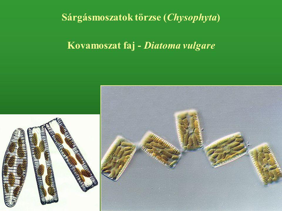 Sárgásmoszatok törzse (Chysophyta) Kovamoszat faj - Diatoma vulgare