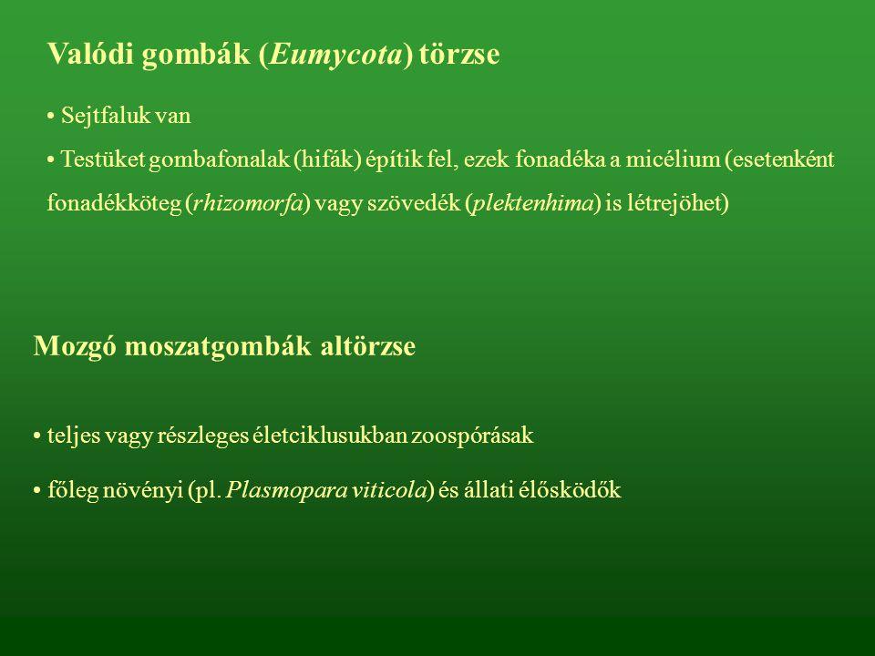 Valódi gombák (Eumycota) törzse