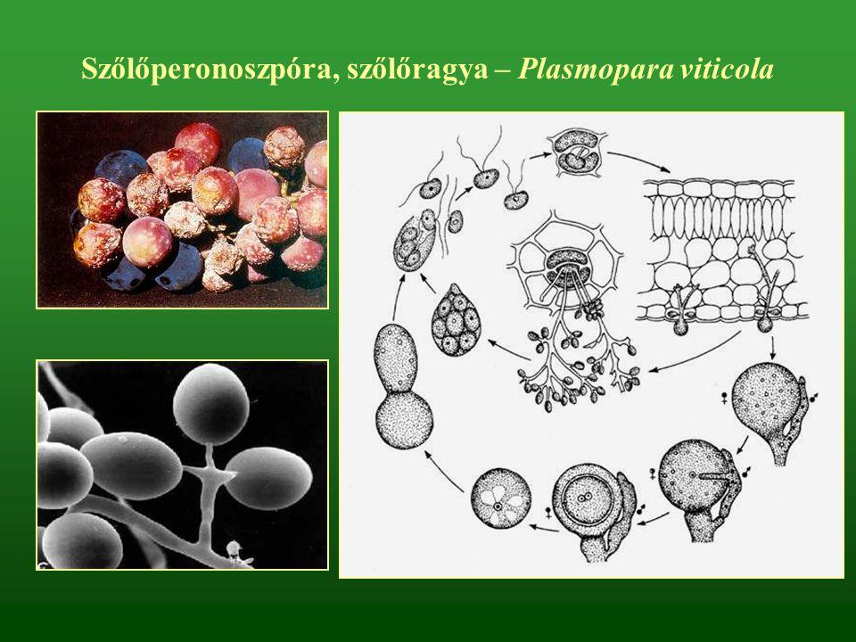 Szőlőperonoszpóra, szőlőragya – Plasmopara viticola