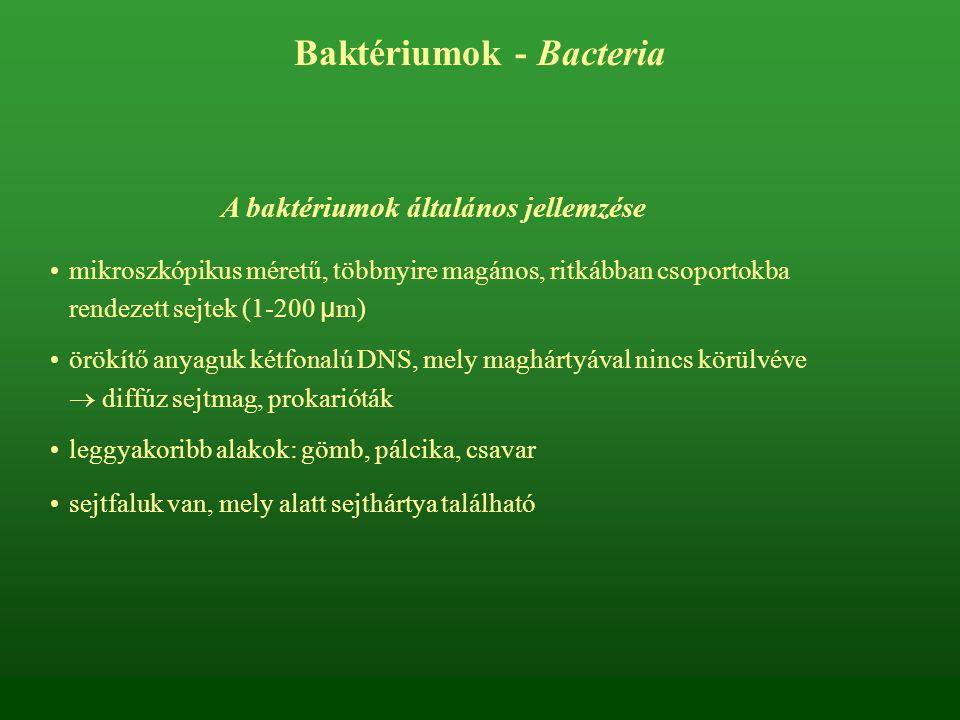 Baktériumok - Bacteria A baktériumok általános jellemzése