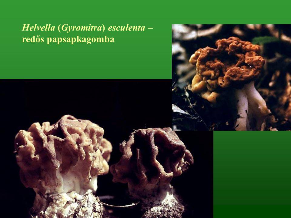 Helvella (Gyromitra) esculenta –